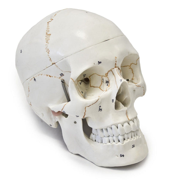 Wellden Medical Anatomy Human Skull Model 3-part Numbered, Life Size