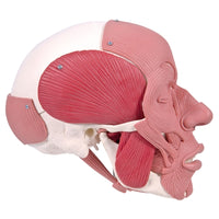 Human Skull Anatomy Model with Face Musculature