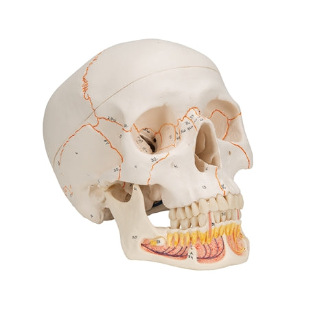 Anatomy Human Skull Model, with Opened Lower Jaw, 3-part