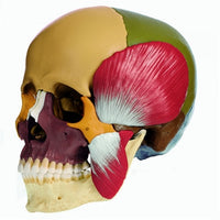 SOMSO Skull Model with Mastication Muscles, colored, 14-pieces Model
