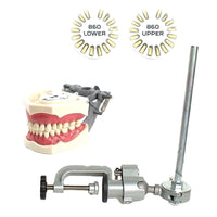 Dental Typodont Model 860, Mounting Pole and Teeth Set Type with Removable Teeth