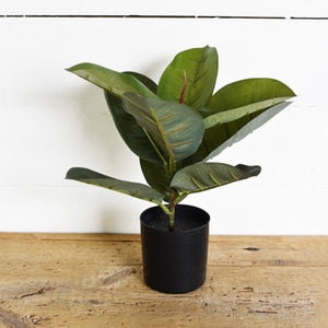 Potted Ficus Tree