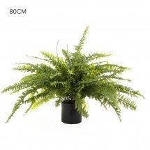 Boston Fern 80cm 96 Lvs