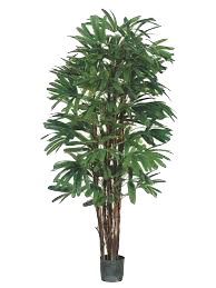7 Branch Raphis Palm 1.8