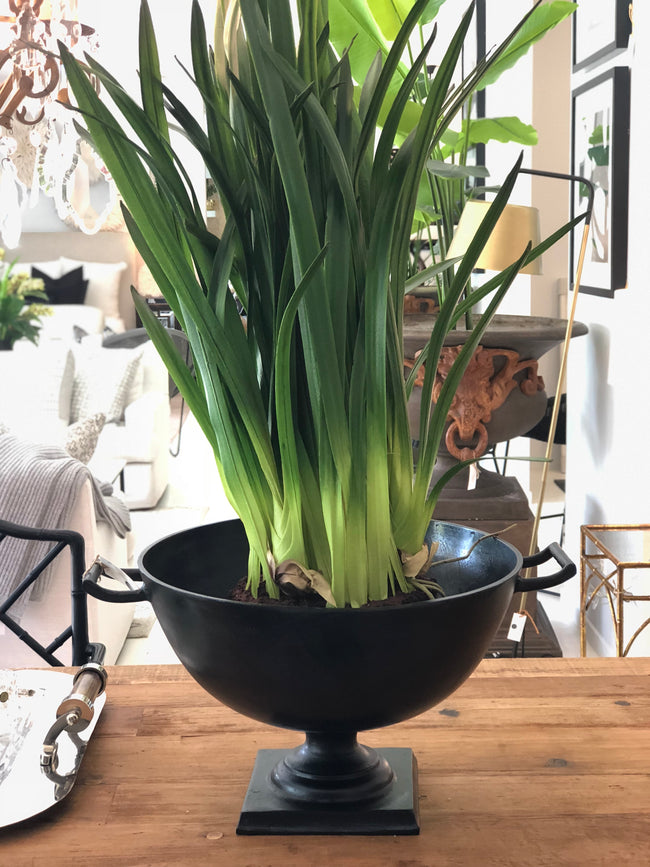 Cymbidium leaves in soil pot