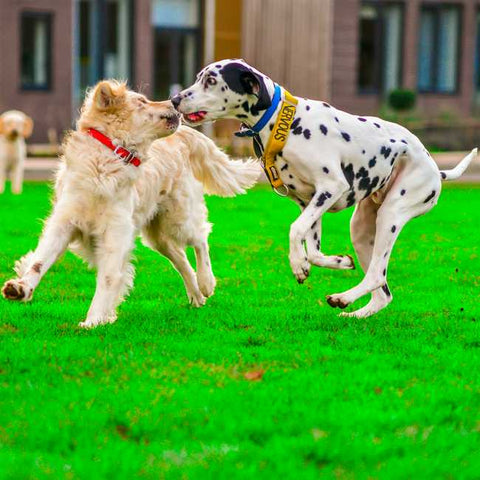 dogs jumping at each other