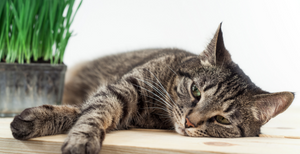 IBS in Cats: The Complete Guide to Recovery