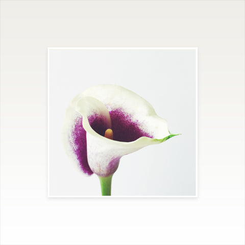 Calla Lily Photographic Art Print by Cassia Beck on OOSTOR.com