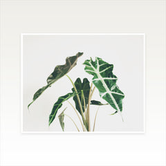 Elephant Ear Photographic Art Print by Cassia Beck on OOSTOR.com