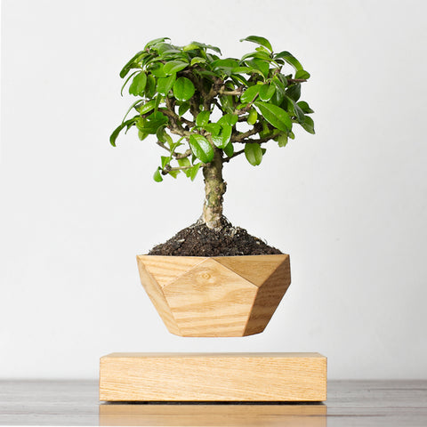 LePlant Floating Bonsai Pot - light wood | Levitating Plant Pot