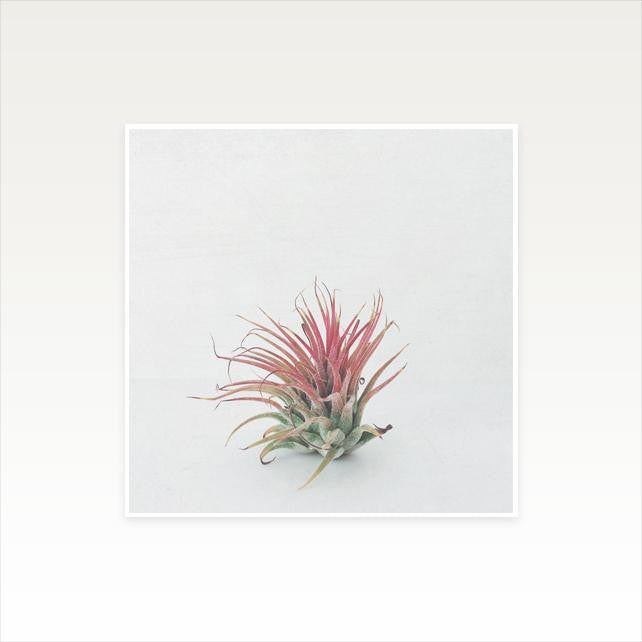 Air Plant Print by Cassia Beck on OOSTOR.com