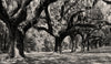 Boone Hall Plantation, Charleston South Carolina, Black and White Photo