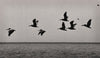 Brown Pelicans, Salton Sea, California, Black and White Photo