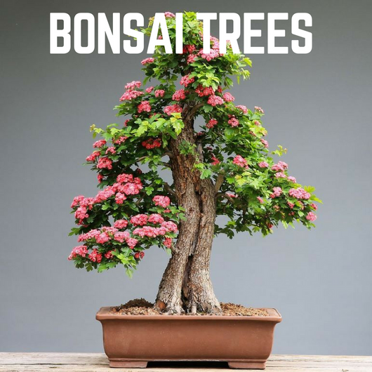 Bonsai Trees & Accessories