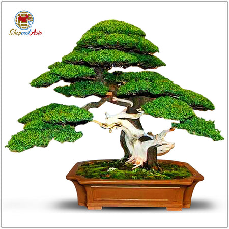 50 Bonsai Miniature Tree Seeds