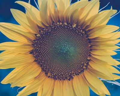 SALE - Sunflower - Print