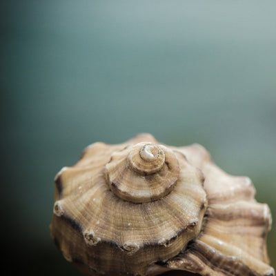 SALE - Seashell - Print