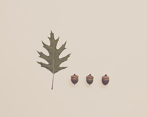 Acorns and Oak Leaf - Photography Print