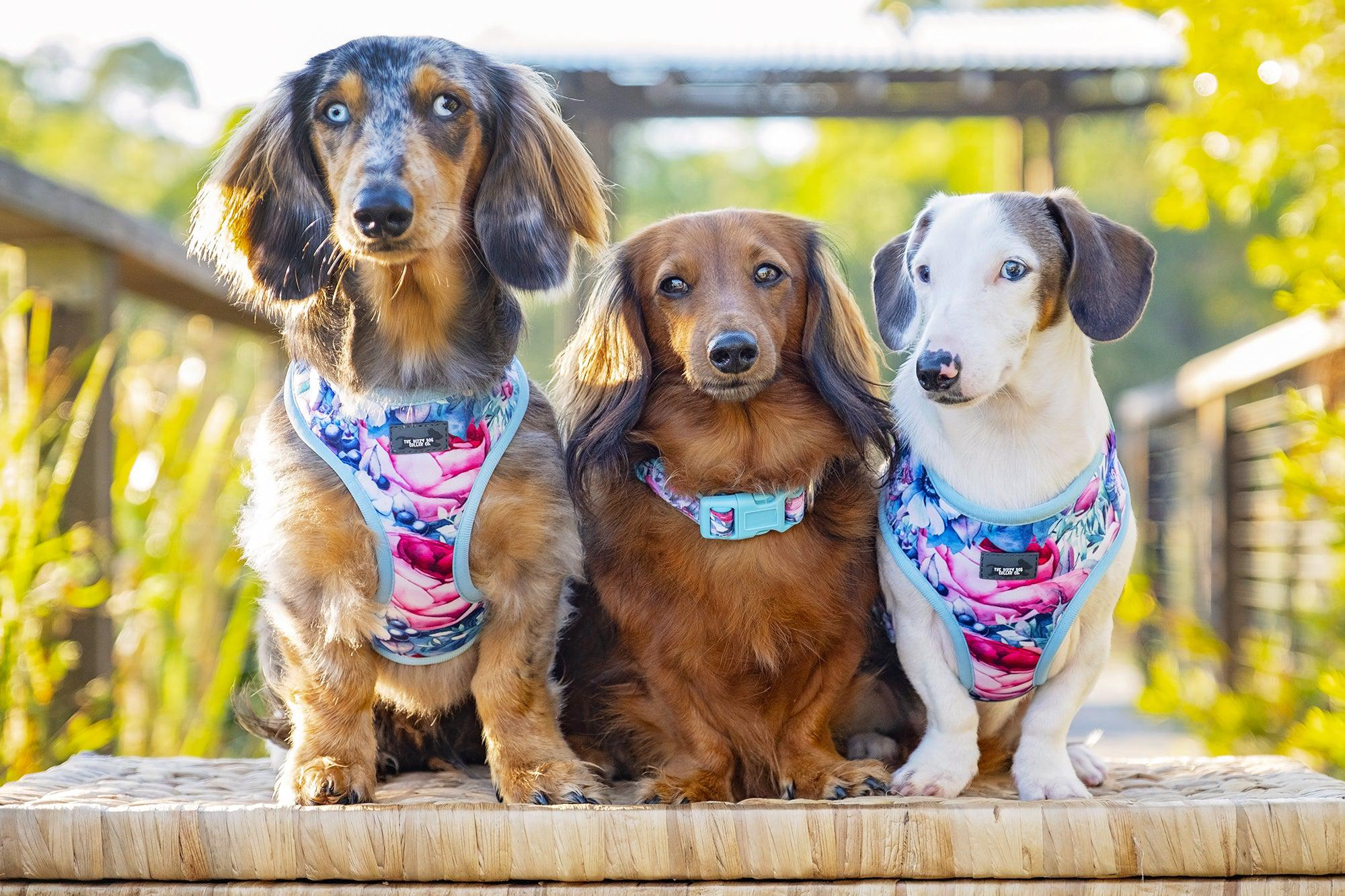 dachshund wearing collar and harness, three sausage dogs in harnesses