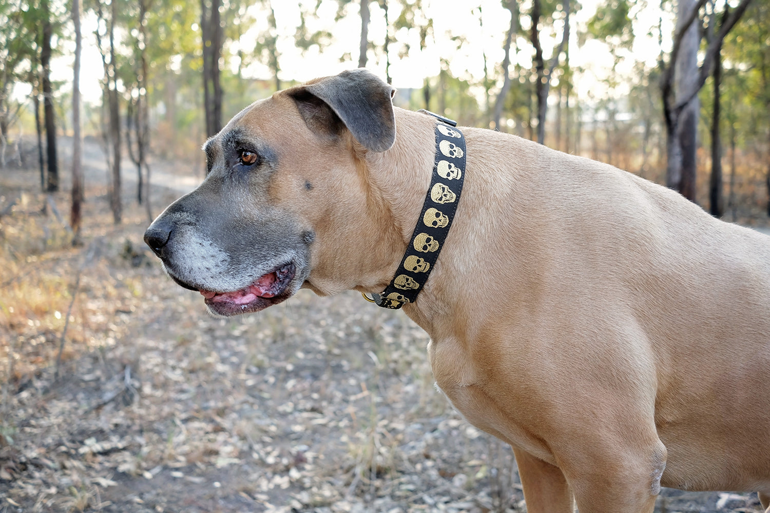 "Gold Skulls Dog Collar 38mm (1.5"") Wide / Gold Glitter/ Buckle or Martingale-Dizzy Dog Collars-Dizzy Dog Collars"
