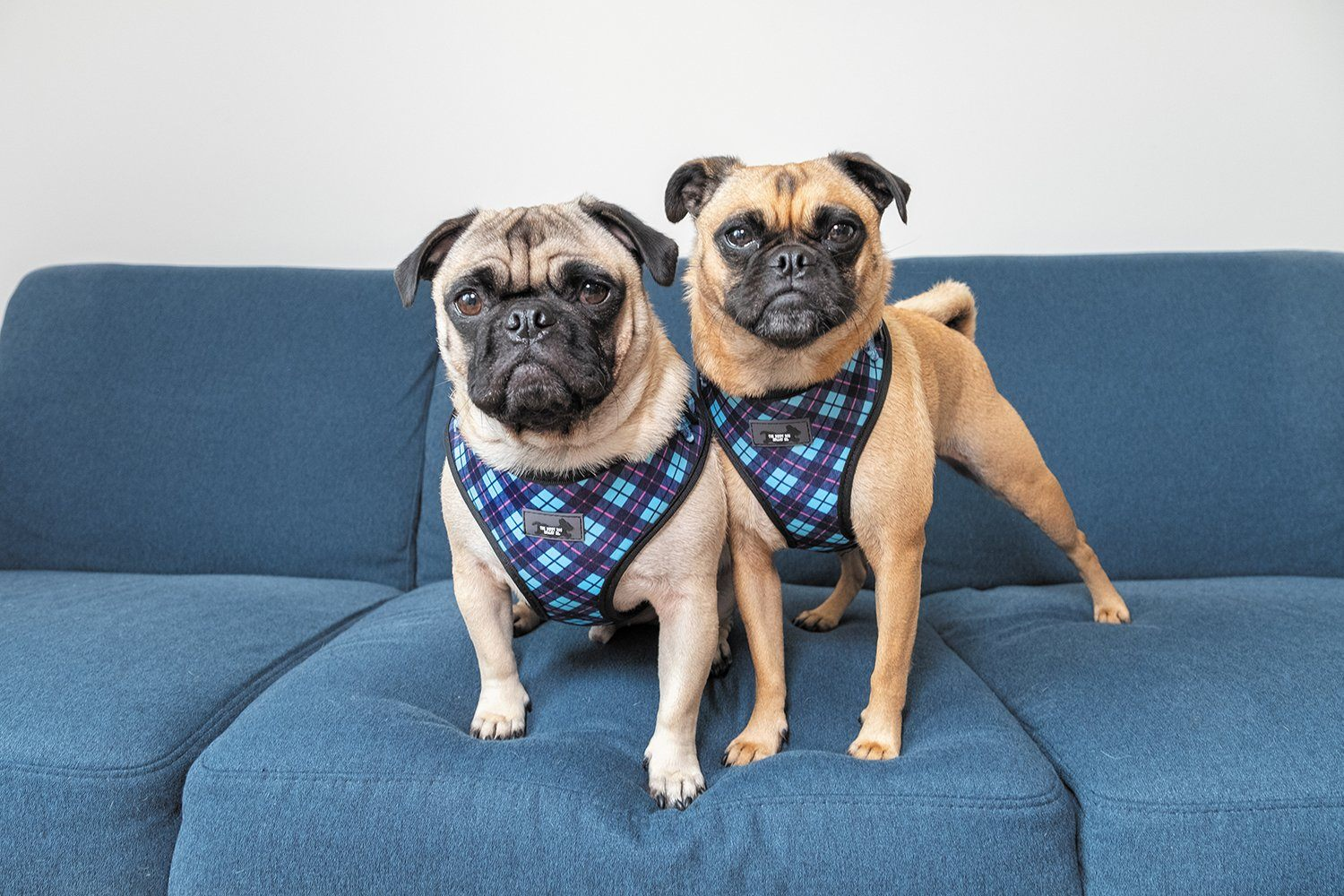 pugs in dog harness, the best dog harness for pugs, best dog harness for boston terriers