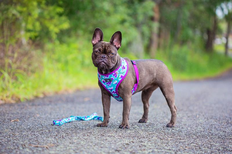 french bull dog harness