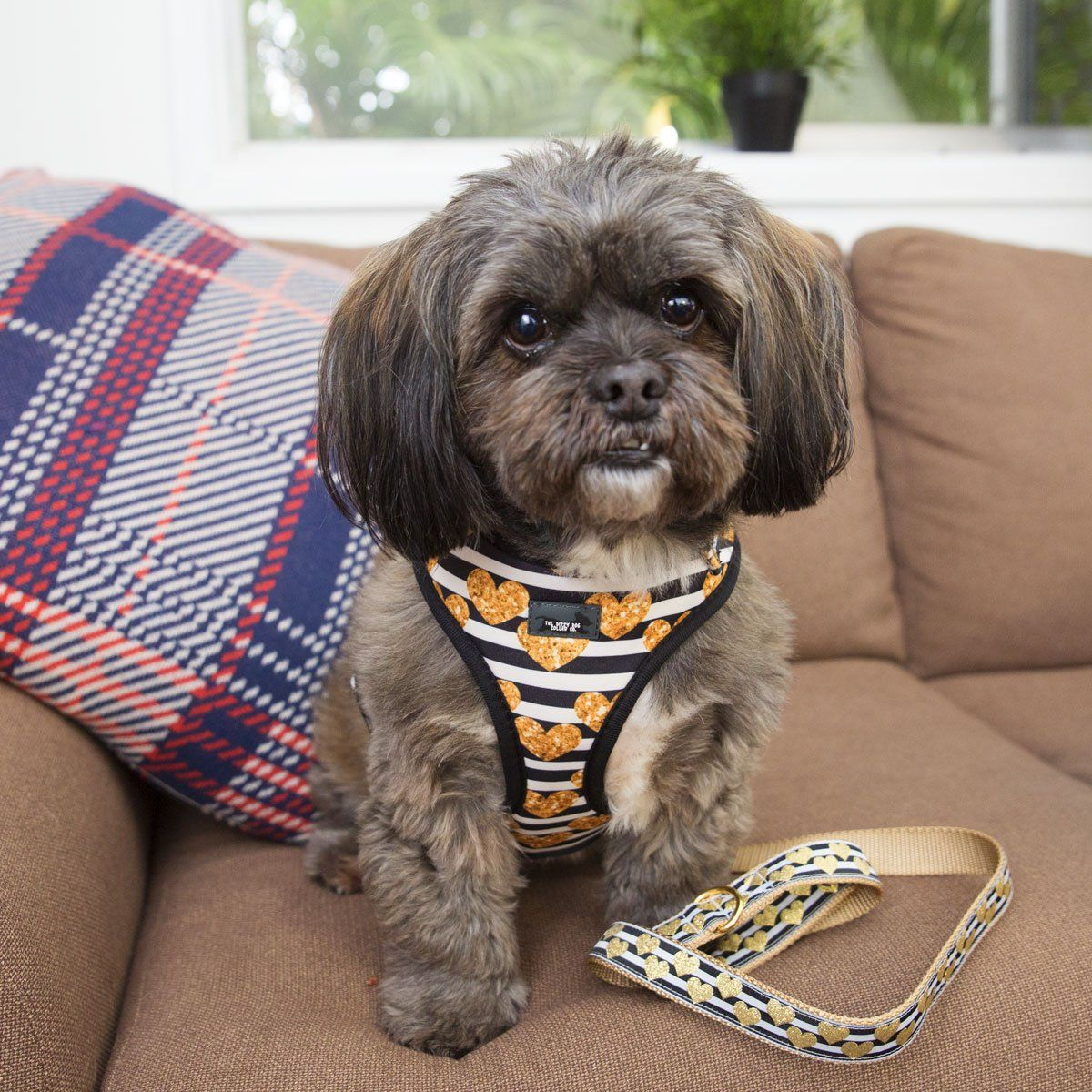 shih tzu wearing cute dog harness