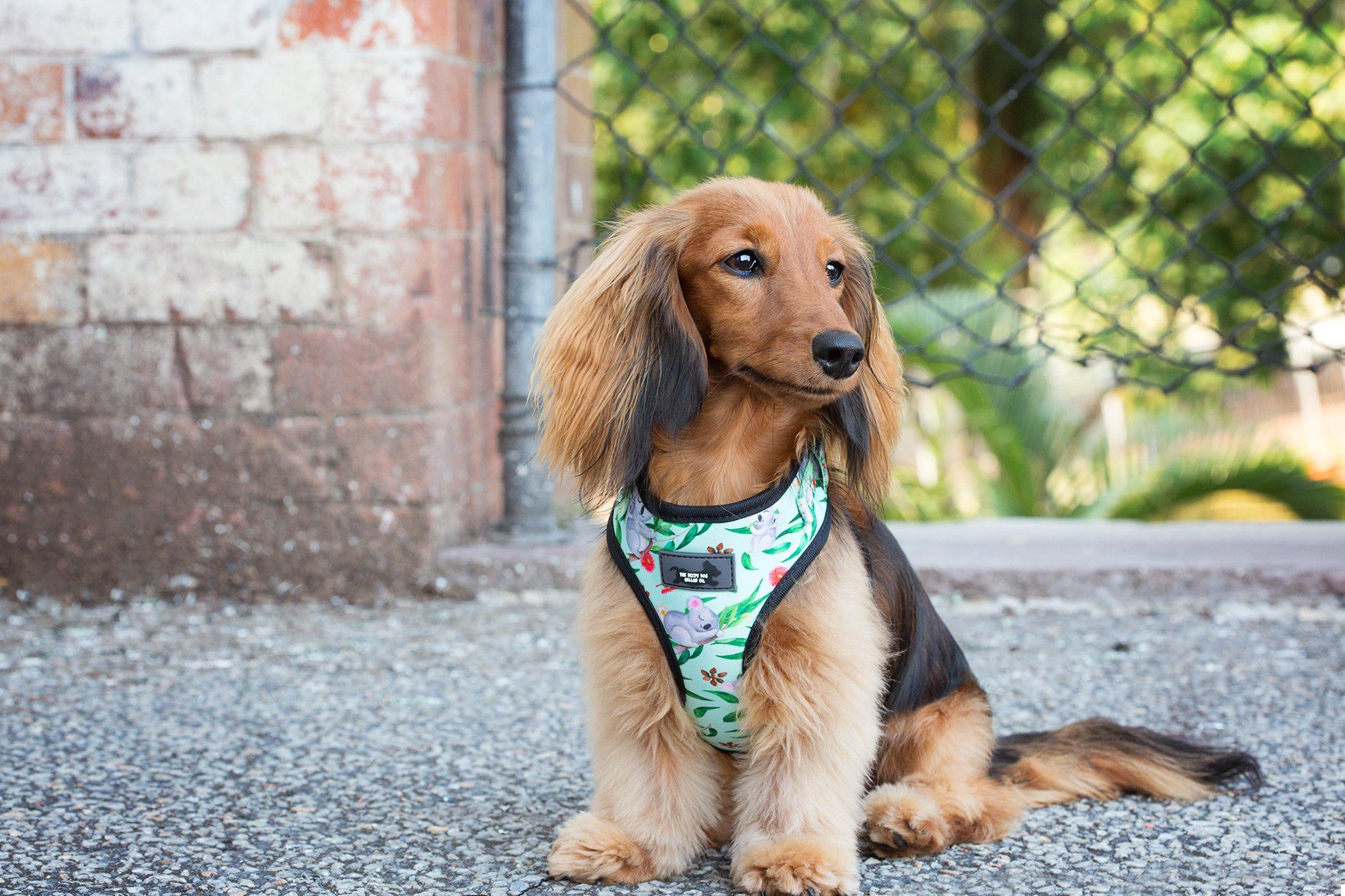 DOG HARNESS - Koala Gala - Adjustable, small dog harness, this is the best small dog harness, dachshund dog harness, long haired dachsund wearing a dog harness, best dog harness in australia
