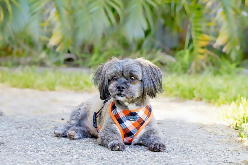 cute terrier type dog wearing bright orange dog harness, small dog harness, this is the best small dog harness,