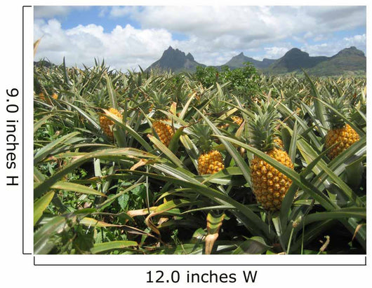 Pineapple field in Mauritius Wall Mural