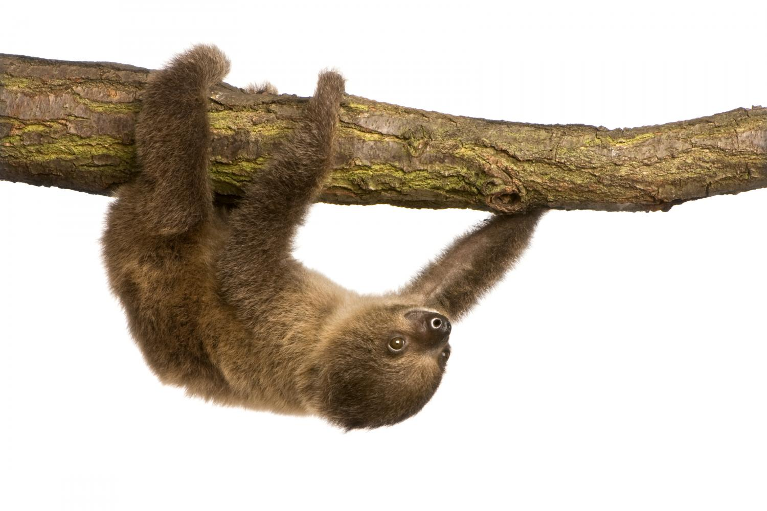 baby Two-toed sloth (4 months) - Choloepus didactylus Wall Decal