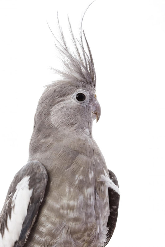 White-Faced Cockatiel Wall Decal
