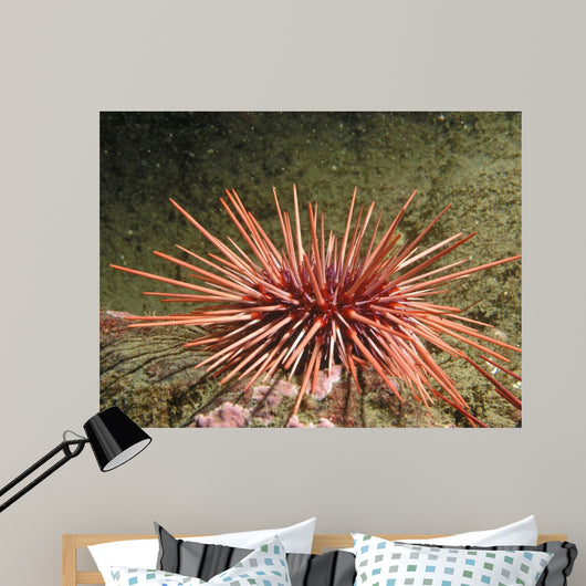 Red Sea Urchin (Strongylocentrotus franciscanus) Wall Mural