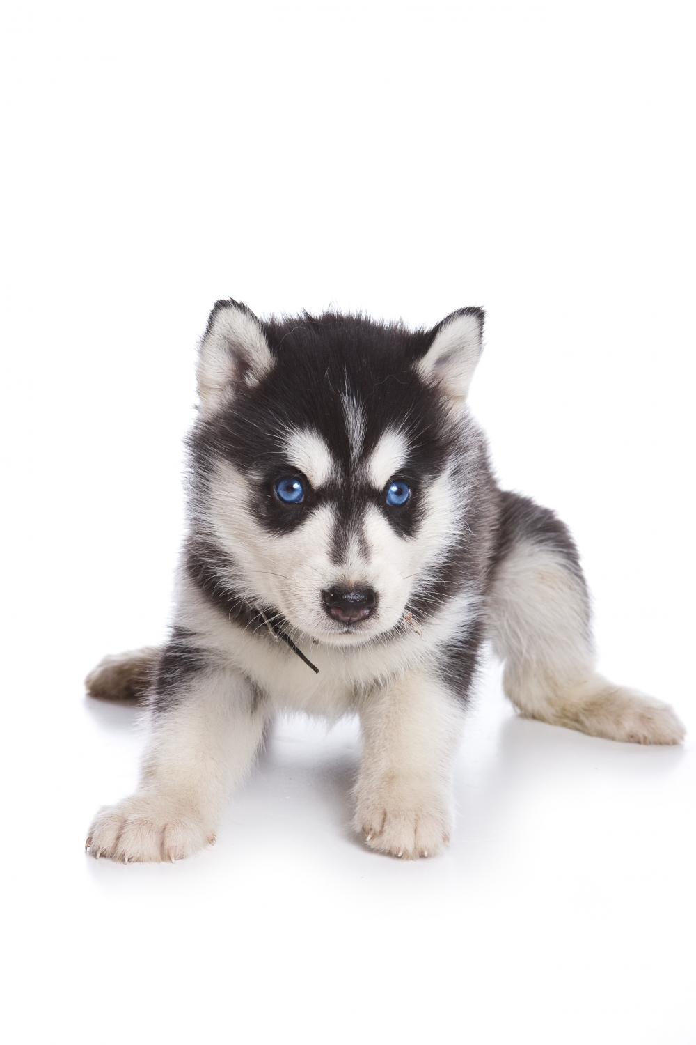 Siberian Husky puppy on white Wall Decal