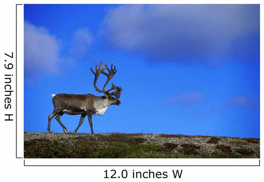 Caribou Walking On Hill Crest Wall Mural