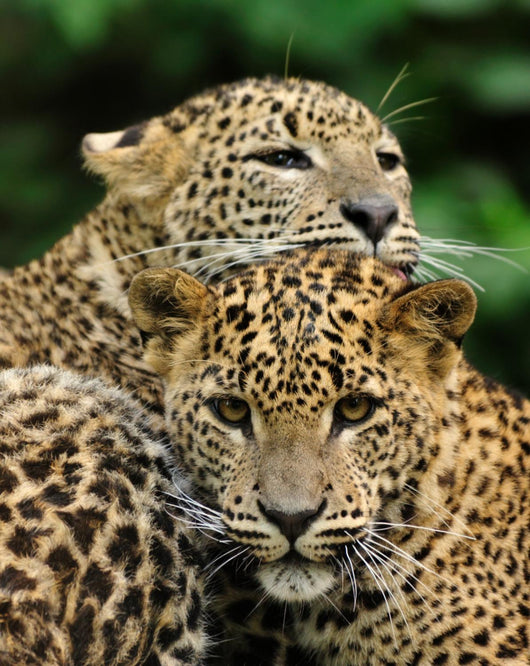 Two Sri Lanka Leopard Wall Decal