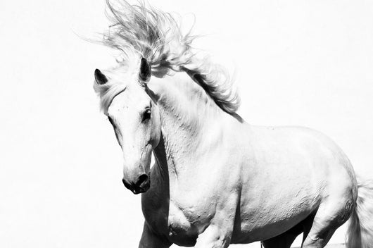White Arabian Horse Stallion Wall Decal
