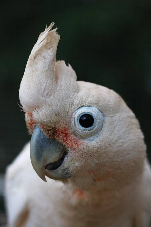 Head of Goffin Cockatoo Wall Mural