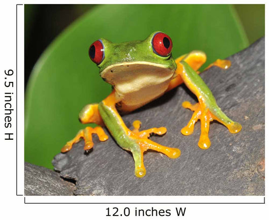 Red Eyed Green Tree Frog Wall Mural