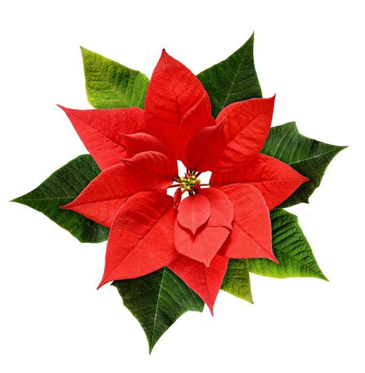Red Christmas Flower.Red Christmas Poinsettia Flower Wall Decal