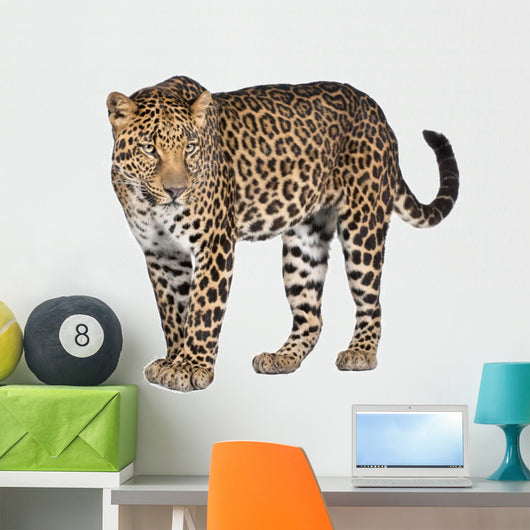 Portrait of leopard, Panthera pardus, standing, studio shot Wall Decal
