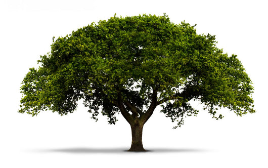 A Tree with Green Leaves - Isolated on White with Shadow Wall Decal