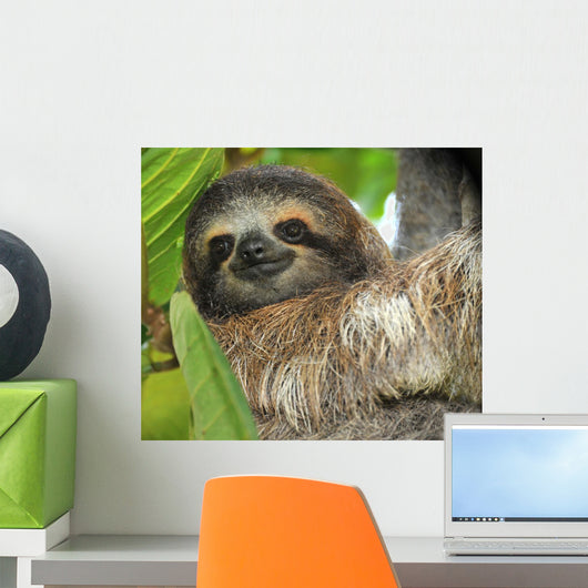 Three Toed Sloth Male Wall Mural