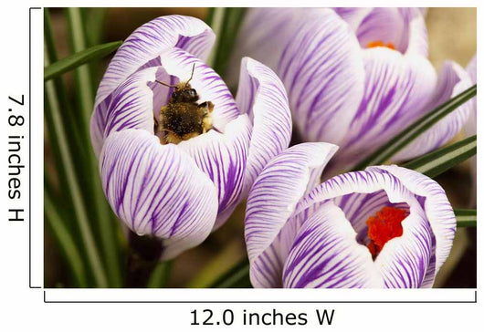 Bee On Crocus Wall Mural