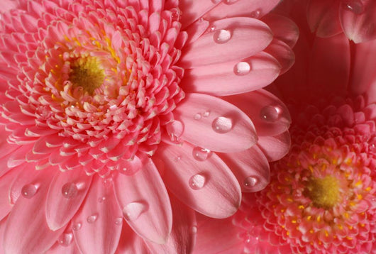Pink Gerbera with Water