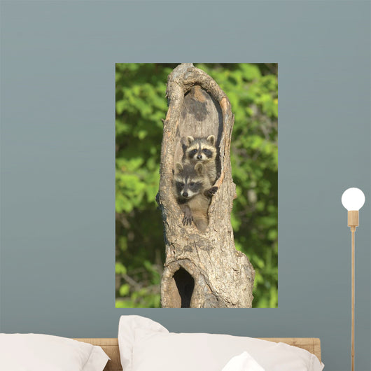 Baby Racoon's In Hollow Tree Wall Mural