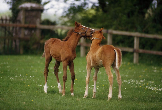 Thoroughbred Foal, Ireland Wall Mural