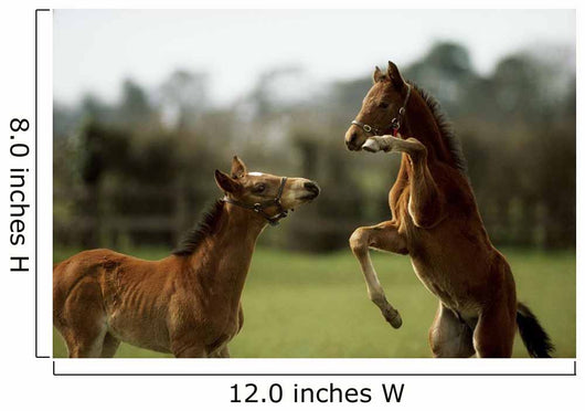 Thoroughbred Foals Playing, Ireland Wall Mural