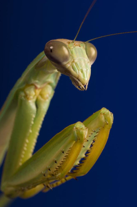 Closeup Of Praying Mantis Wall Mural