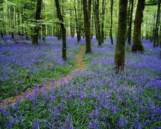 Bluebell Wood, Near Boyle, Co Roscommon, Ireland Wall Mural